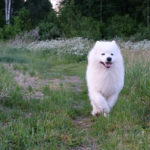 X-Pro2 low-light focus tracking test - tracking a samoyed
